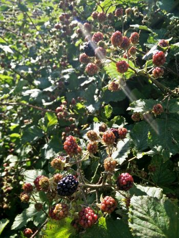 Blackberries, growing on the bramble bush in the sunshine