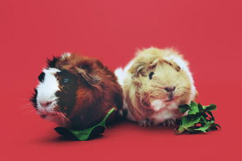 Two guinea pigs on a red background, eating lettuce