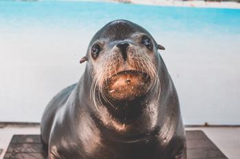 A black seal, staring at the camera
